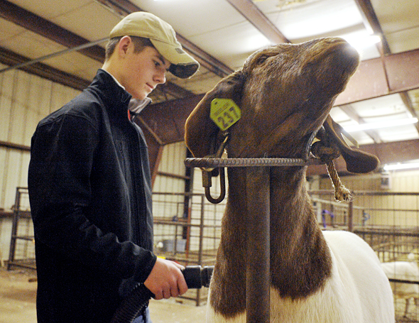 Henrietta FFA member Kolton Beeler dries off his goat before clipping the animal Tuesday night in preparation for the annual Clay County Junior Livestock Show and Youth Fair. Beeler is one of 217 FFA, 4-H and FCCLA members participating in this year's event.