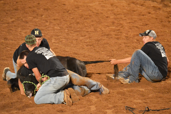 Henrietta FFA scramblers compete during Thursday night's performance of the Pioneer Reunion Rodeo. Henrietta won the overall FFA Calf Scramble title.