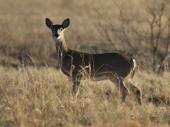 A whitetail doe makes her way to a wheat field in south Clay County.