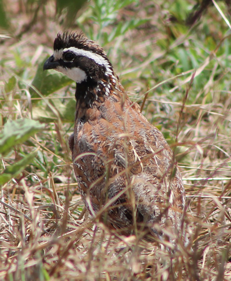 A Bob White quail photographed by Jay Stine on the Stine Ranch at Benvanue and featured on the cover of the 2014 Clay County Outdoors magazine. The decline in quail populations will be the topic of discussion at an event set for May 7.