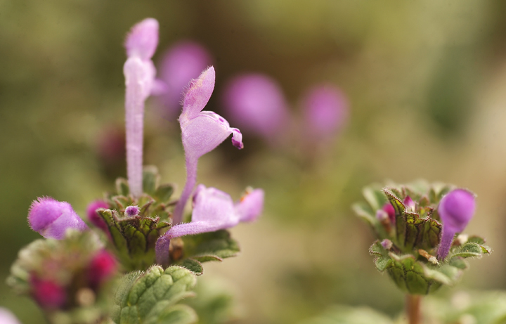 Henbit is one of several cool season broadleaf weeds that can pose a problem for lawns. The plant is easily identified by it profusion of small purple or white flowers (shown here in detail).